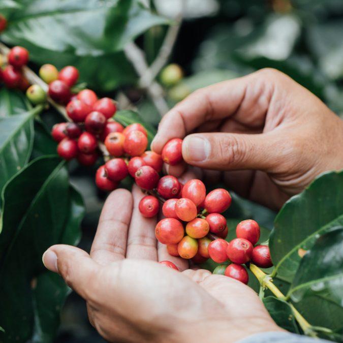Ruta del café colombiano RUTAS DE ORIGEN FROSCH